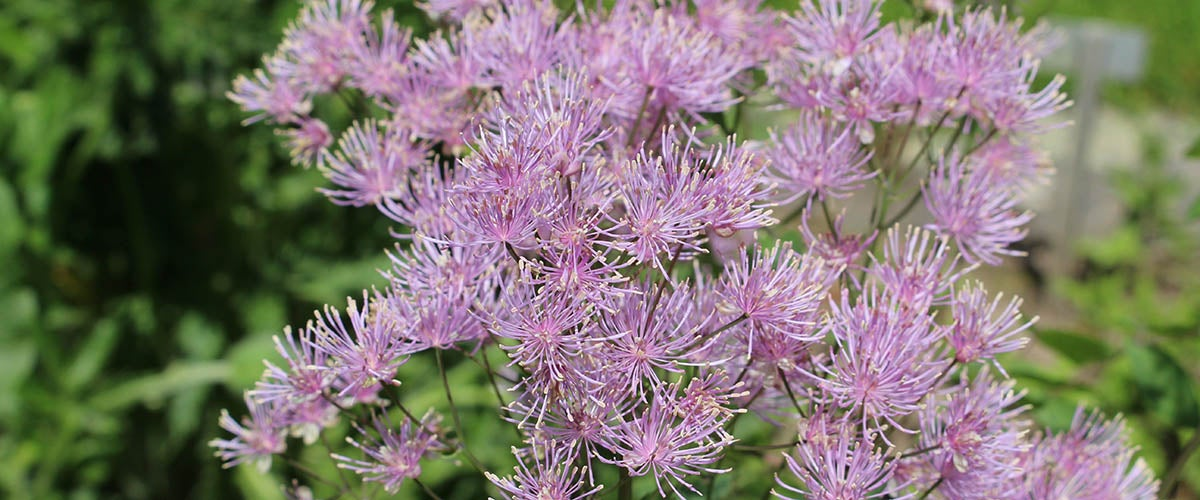 Columbine Meadow Rue thalictrum