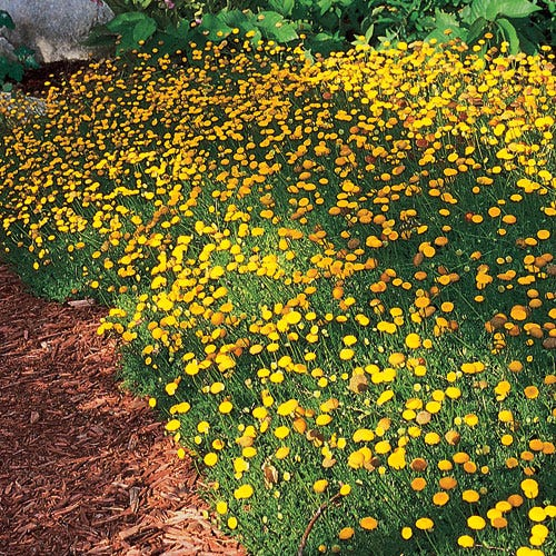 Creeping Gold Buttons (Cotula Tiffindel Gold) is a beautiful, drought-resistant alternative lawn subsitute, which requires very low-care. A High Country Gardens Introduction.