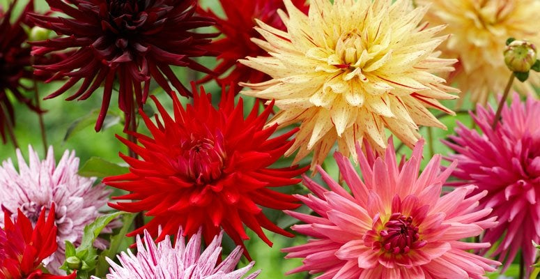 Collection of dahlia blooms