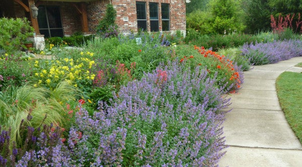 The perennial garden in May with swaths of Catmint (Nepeta) in bloom.