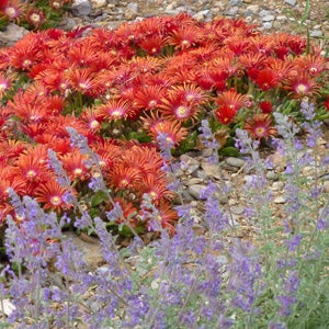 Red Mountain Flame Ice Plant with Select Blue Nepeta