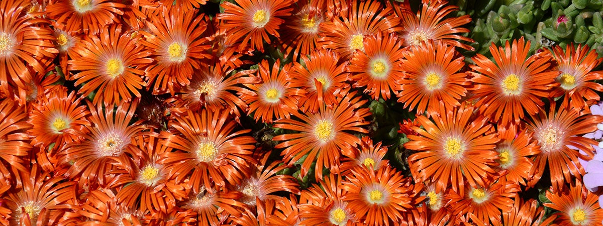 Delosperma Orange Plant Select
