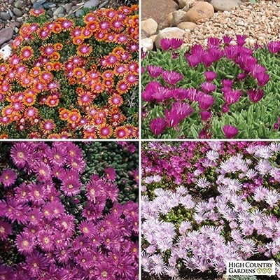 Delosperma Perennial Collection