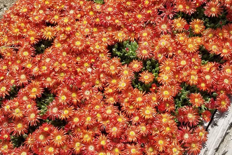 Granita Orange Cold Hardy Ice Plant