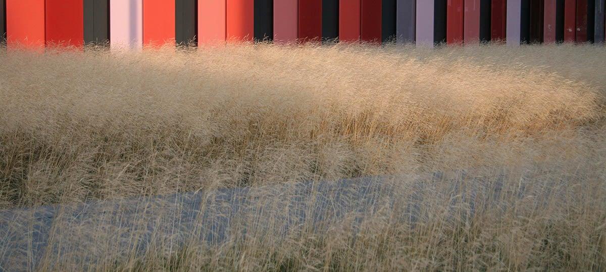 Gold Dew Tufted Hair Grass (Deschampsia cespitosa Goldtau)