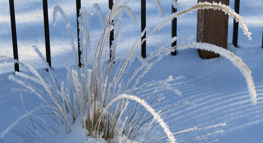 Ornamental Grass covered in snow