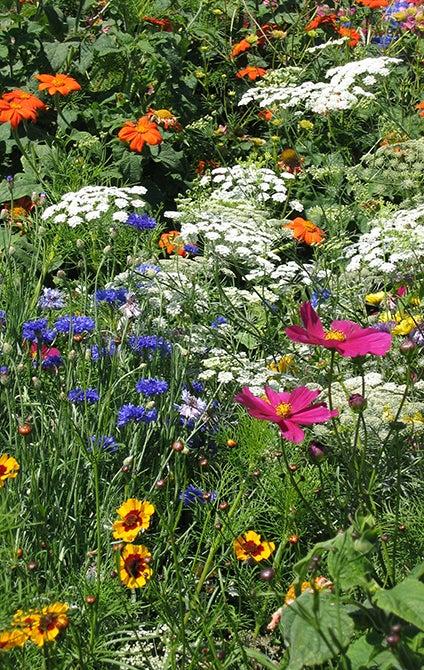 Dry Area Wildflower Mix