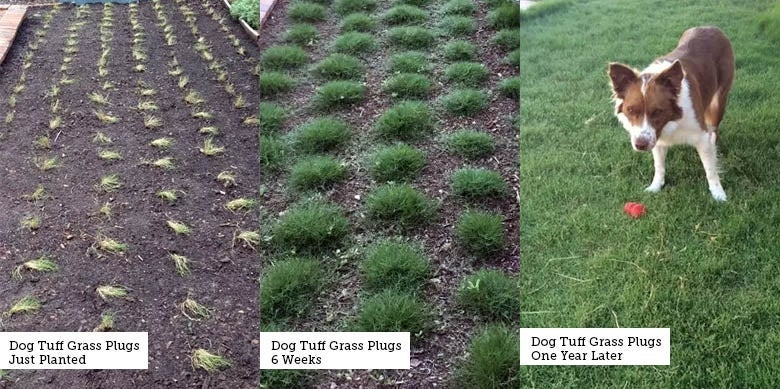 Dog Tuff Grass Plugs Planting Progress Image