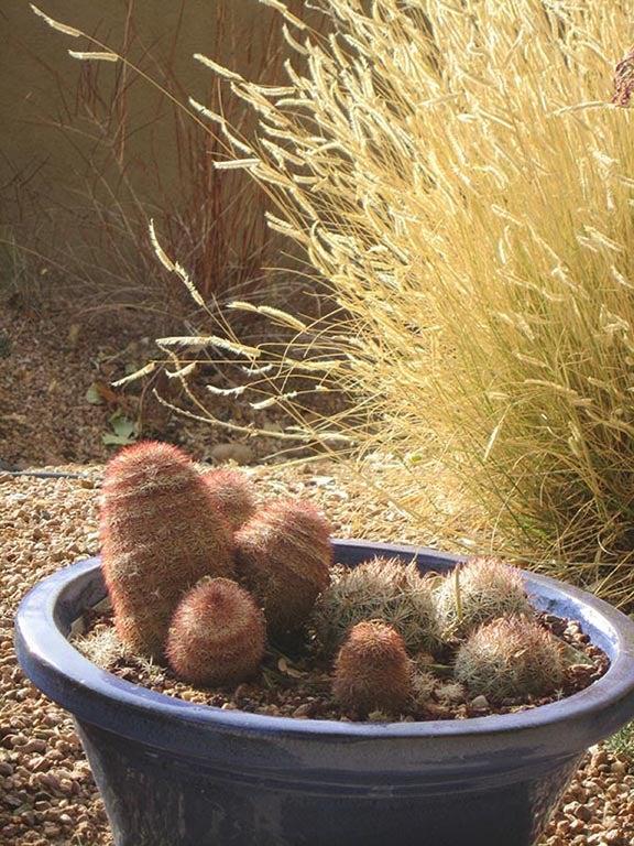 Rainbow Hedgehog Cactus (Echinocereus dasycanthus) in a container