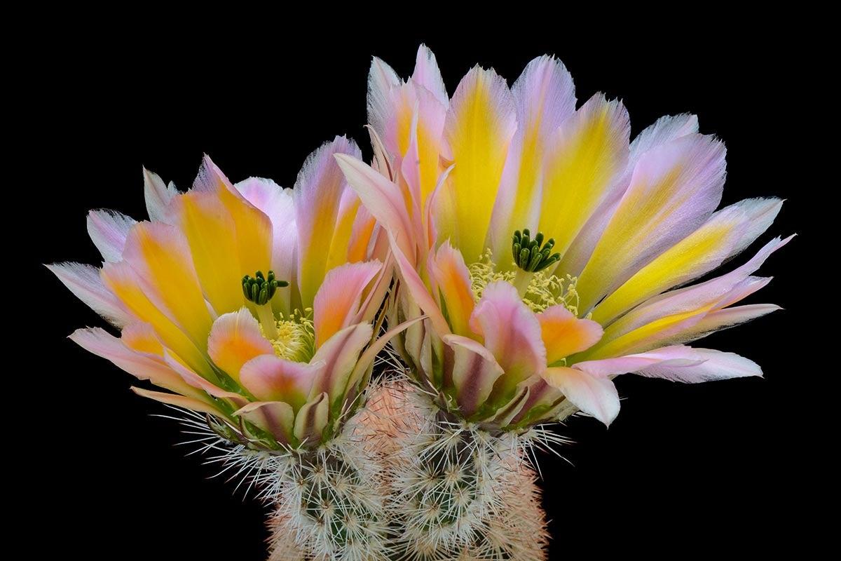 Rainbow Hedgehog Cactus (Echinocereus dasycanthus)