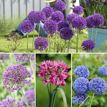 Endless Allium Bulb Collection