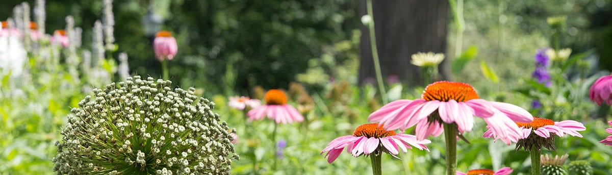 A pollinator garden featuring Agastache, Allium, and Echinacea.