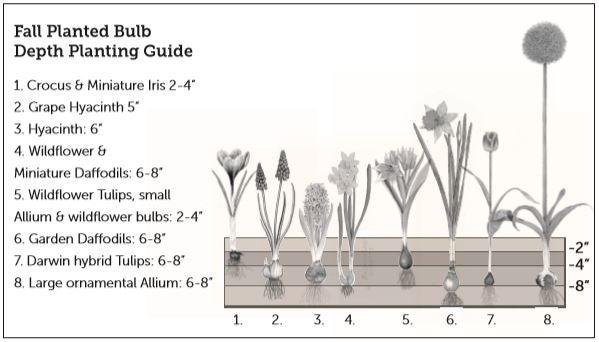Fall Planted Bulb Depth Planting Guide