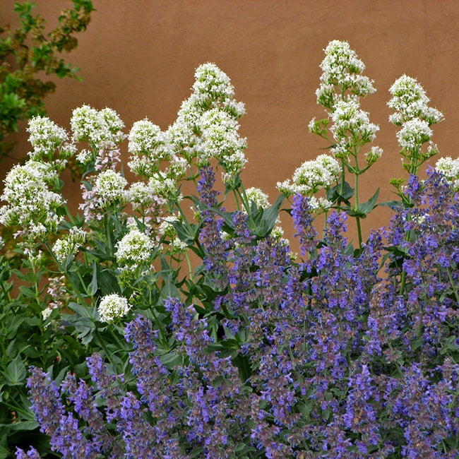 Growing Catmint Nepeta Pick The Best And Enjoy The Show High