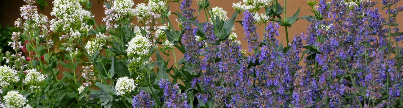 Walker's Low Nepeta (Catmint) with White Valerian (Centranthus)