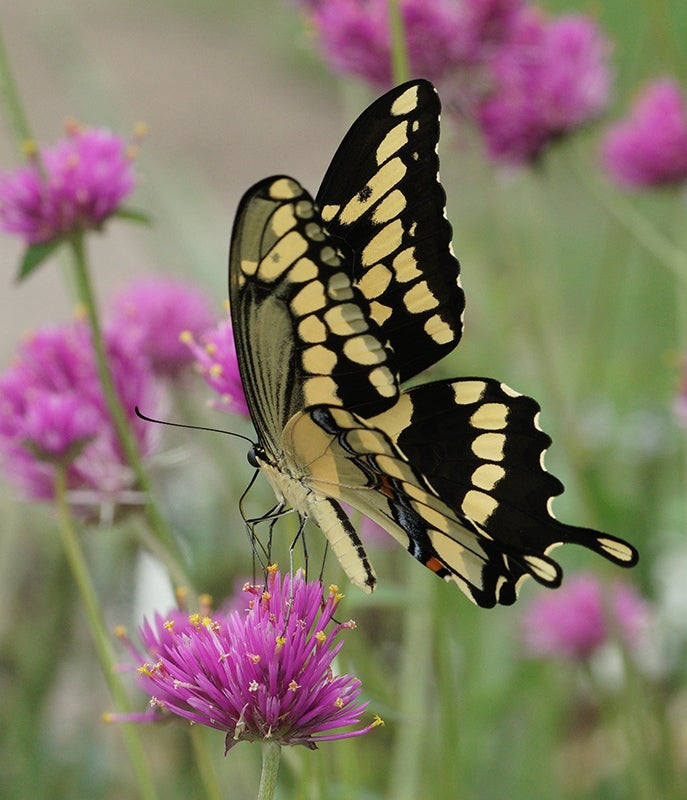 Photo by Leslie Miller: Swallowtail Butterfly on Gomphrena 'Fireworks'