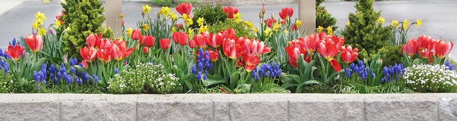 Layering Fall Planted Bulbs - Tulips, Muscari, Daffodils - Makes for a Coloful Spring Display!