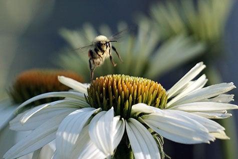 Honey Bee on White Swan Coneflower