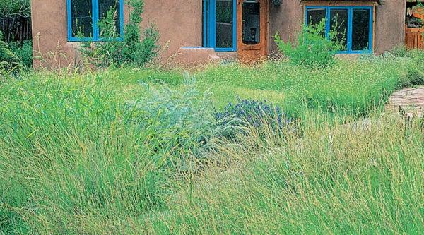 High Mountain Native Grass Seed Mix in summer garden in Sante Fe, NM.