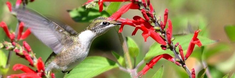 hummingbird-firecracker-beardtongue-penstemon