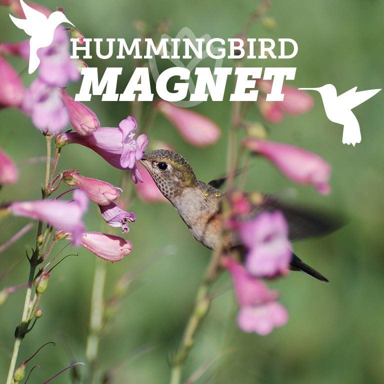 Sunset Crater Beardtongue (Penstemon clutei) is a long-blooming hummingbird magnet.