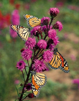 Liatris ligulistylis with Monarch Butterflies