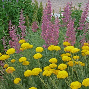 Gold Plate Yarrow with Agastache