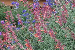 Agastache rupestris with Caryopteris clandonensis