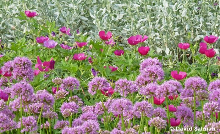 Allium Millenium, Callirhoe involucrata, Salvia pachyphylla