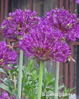 Allium Purple Sensation honeybees
