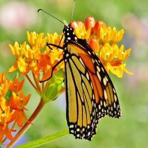 Monarch caterpillar on Asclepias Butterfly Weed