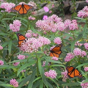 Monarch butterflies on Asclepias Butterfly Weed