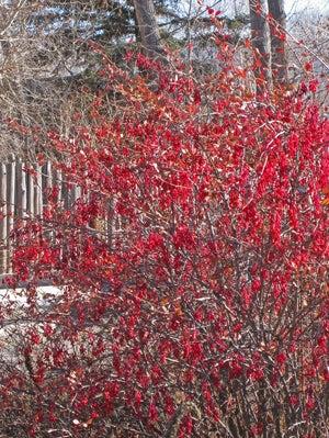 Berberis fendleri whole bush in fruit.