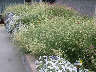 Blonde Ambition Blue Gramma Grass