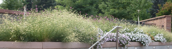 Blonde Ambition Grass at the Denver Botanic Garden entrance.
