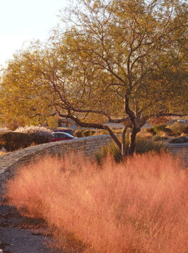 Chilopsis with Muhlenbergia grass