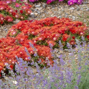 Delosparma Red Mountain Flame with Nepeta