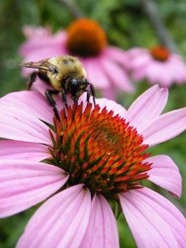 Bumble bee on Echinacea. Customer Photo