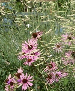 Echinacea tennesensis with Bouteloua Blonde Ambition
