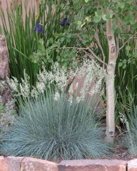 Festuca idahoensis Siskiyou Blue