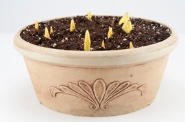 When forcing bulbs for indoors, they need to be chilled for many weeks prior.