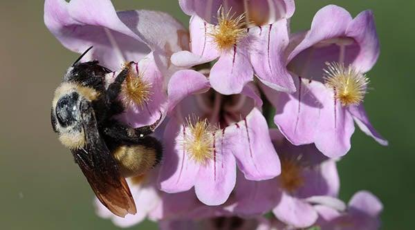 bee landing on penstemon