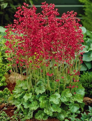 Shady characters plants for shade and part shade the high country coral bells heuchera sanguinea firefly mightylinksfo Images
