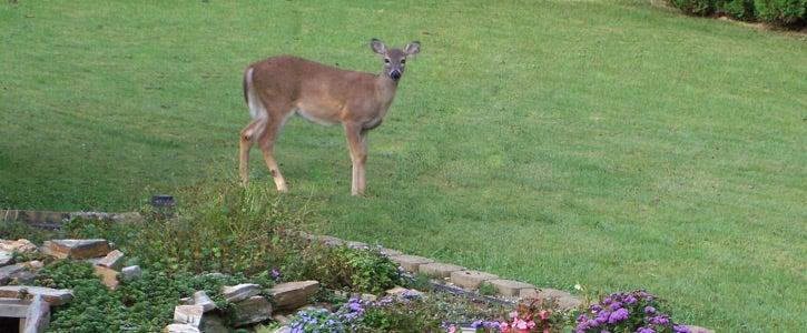 Plant a deer resistant garden.
