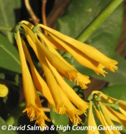 Lonicera sempervirens 'Sulphurea' is an ideal vine to use when covering an archway, pergola or trellis