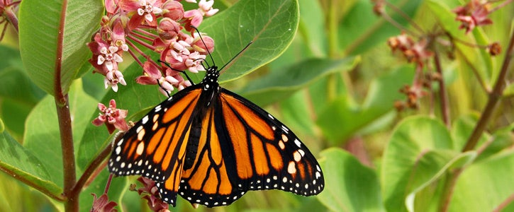 Monarch aclepias syrica