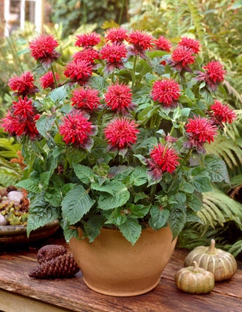 Monarda Fireball Bee Balm is a petite variety that does well in pots.