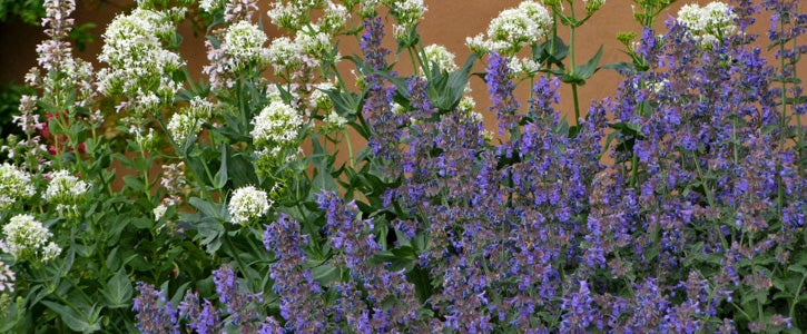 Walker's Low Catmint (Nepeta) with Alba Jupiter's Beard (Centranthus ruber)