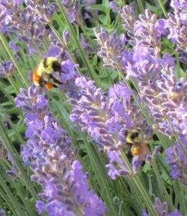 Orange Striped bumblebee on Lavender