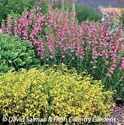 Penstemon pinifolius 'Magdalena Sunshine' with Penstemon 'Red Rocks'